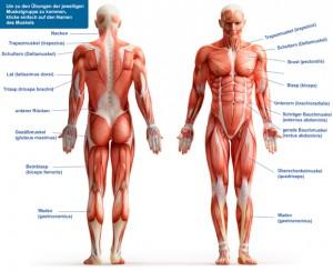 Muskeln des Körpers
