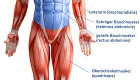 Bauchmuskel Anatomie