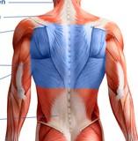 Oberer Rücken Muskeln