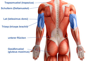 Trizep Muskulatur